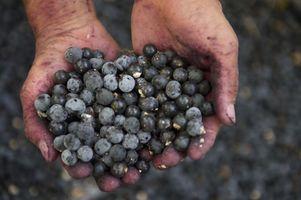 Wszystko co musicie wiedzieć o jagodach acai (acai berry)